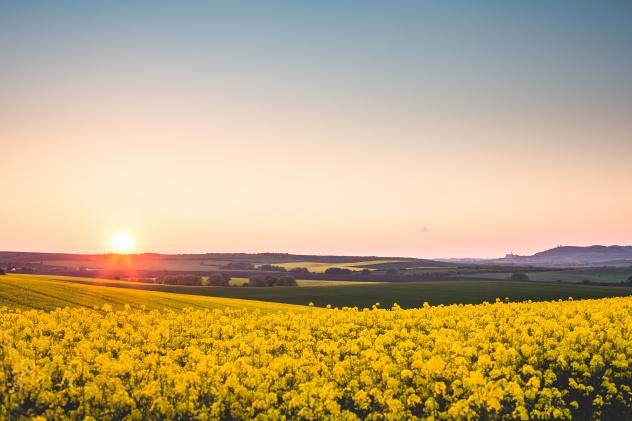 beautiful-sunset-over-the-yellow-rapeseed-field-picjumbo-com